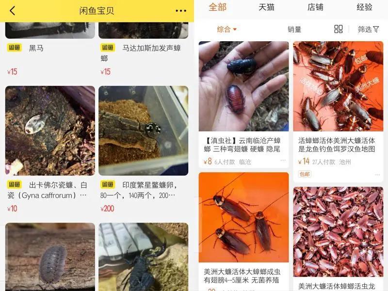网上卖蟑螂100一只,竟是买来当宠物!