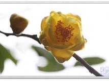 茶族丛中皇后花