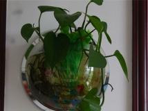 会滴水的绿植—绿萝
